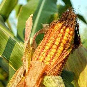 Можно ли пить кукурузные рыльца при беременности
