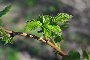 Листья малины для стимуляции родов