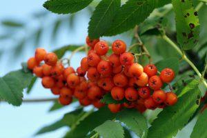 Можно ли беременным рябину красную — Огород и прочее